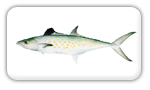 Spanish Mackerel